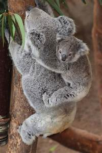 216 best Baby Koalas images on Pinterest | Baby koala ...