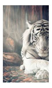 White Tiger Wallpapers   HD Wallpapers   ID #25346