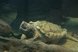 world record largest alligator snapping turtle