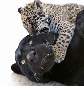 Panther Cheetah - Best Cheetah Image And Photo HD 2017