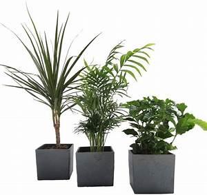 Palmen Kaufen Baumarkt : dominik zimmerpflanze palmen set h he 30 cm 3 pflanzen in dekot pfen online kaufen otto ~ Orissabook.com Haus und Dekorationen