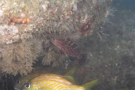 grouper juvenile bonaci mycteroperca