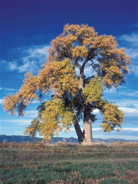 colorados major tree species colorado state forest service