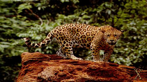 Jaguar Animal Wallpaper Hd - great jaguar hd wallpapers animal wallpaper background