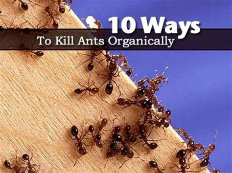 ways  kill ants organically ants     pest