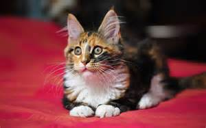 coon cat wallpapers maine coon cat wallpapers