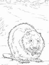 Coloring Beaver Pages Printable Animal Animals Recommended sketch template