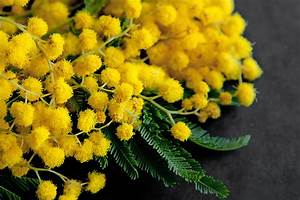 Mimosa Wallpaper By Collection 9+ Wallpapers