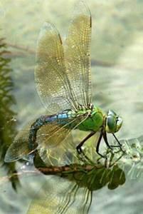 255 Best Images About  U0026quot Dragonflies  U0026quot  On Pinterest