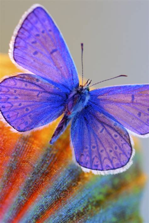 wallpaper blue butterfly macro hd animals