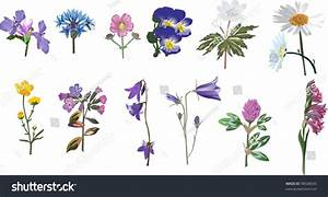 Illustration Wild Flowers Collection Isolated On Stock ...