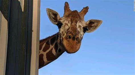 phoenix zoos beloved giraffe makope dies cnn
