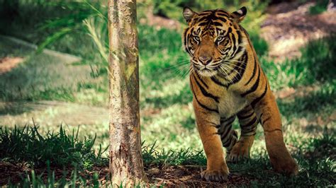 wallpaper tiger savanna cute animals animals