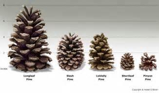 er pine cone tree id carolina shooters club