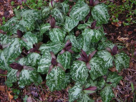 planting trilliums march toadshade trillium