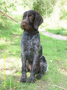 Wirehaired Pointing Griffon Breed Information: History ...