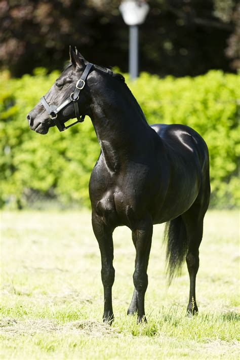 breeding horse australia obstacles stallion jumping harness scientists animal play shadow supplied racing