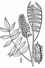 Plants Licorice Lepidota Glycyrrhiza Drawing Plant Usda Line Symbol Gov sketch template