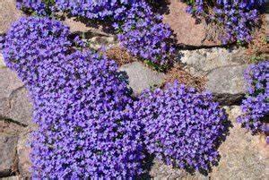 Blau Blühender Bodendecker : gartenmauern bepflanzen so geht s ~ Frokenaadalensverden.com Haus und Dekorationen