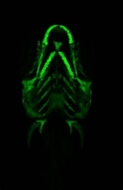 Microscopy Lightsheet Zebrafish Ventral Larvae Tg Gfp