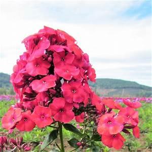 Phlox Red Flame | Dwarf Phlox | Phlox Paniculata FLAME ...  Red