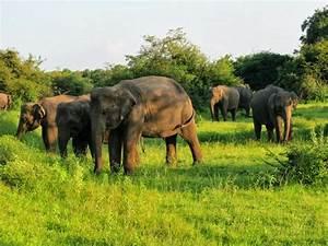 Safari Sri Lanka: Hidden Facts about Asian Elephants