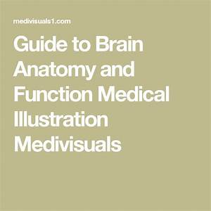 Guide To Brain Anatomy And Function Medical Illustration