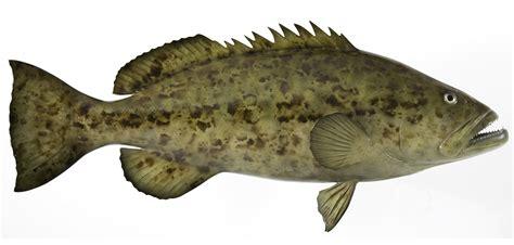 grouper fish goliath gag fishing sea deep mount types miami recipes epinephelus mycteroperca caught microlepis itajara trophy while prev features