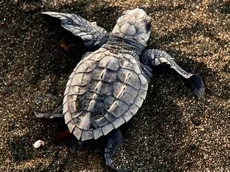 falcon cuisine baby sea turtles attacked