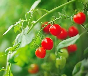 Plant Tomate Cerise : dieffenbachia dieffenbachia ~ Melissatoandfro.com Idées de Décoration