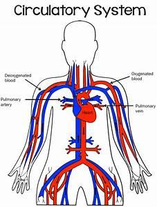 Simple Diagram of Circulatory System - Bing images