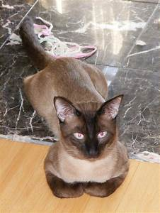 75 best images about Siamese on Pinterest | Watercolors ...