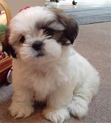 cute small dog breeds  don  shed  pictures