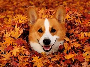 14 Corgis Excited for Fall - Most Adorable Corgi Photos