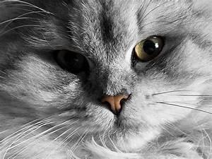Balkonschutz Für Katzen : perserkatze tipps f r die augenpflege ~ Eleganceandgraceweddings.com Haus und Dekorationen