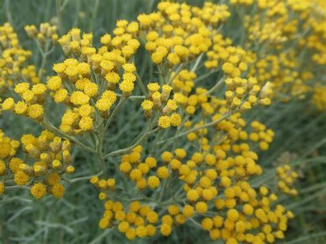 l 39 immortelle hélichrysum d 39 italie nature gastronomique