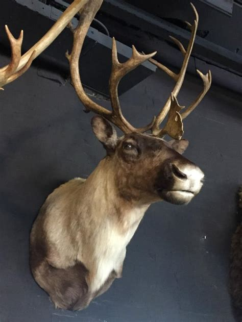 reindeer head shouldermounts stuffed head hunting