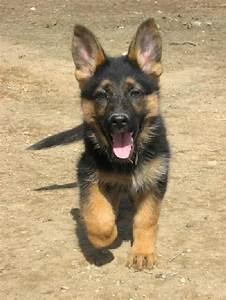 German Shepherd Puppies - 53 Pictures | GSD | Pinterest ...