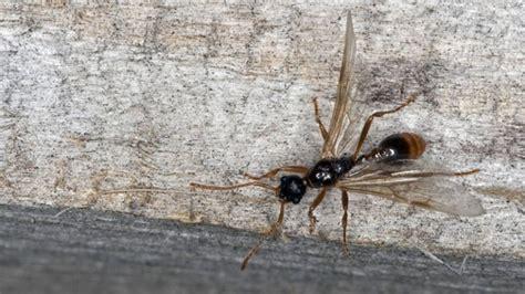 Fliegende Ameisen In Haus Und Garten Vertreiben Tipps