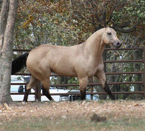 aqha quarter buckskin kid ck horse horses buckskins pictured stallion september october