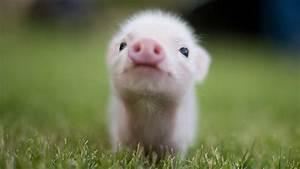 Cute Baby Pigs HD Wallpaper | Piggy Stuff | Pinterest ...