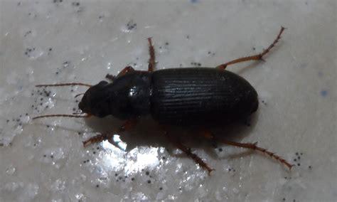 insecte de cuisine identification insecte rant cafard notre planete info