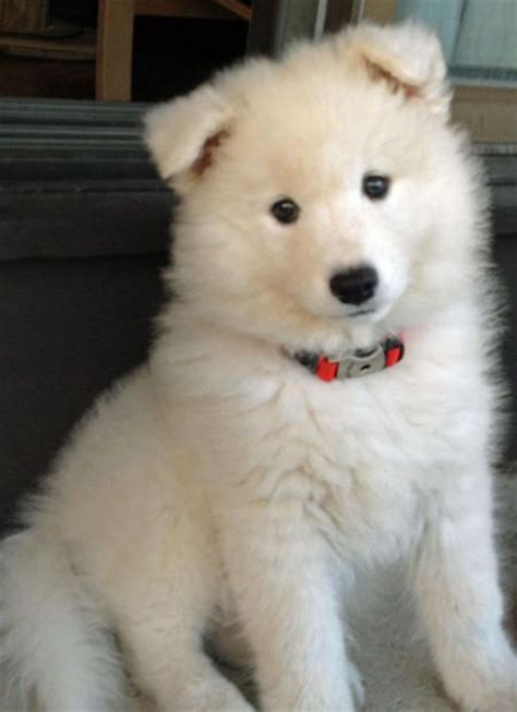 17 Best Images About The Smiling Dog Samoyeds On