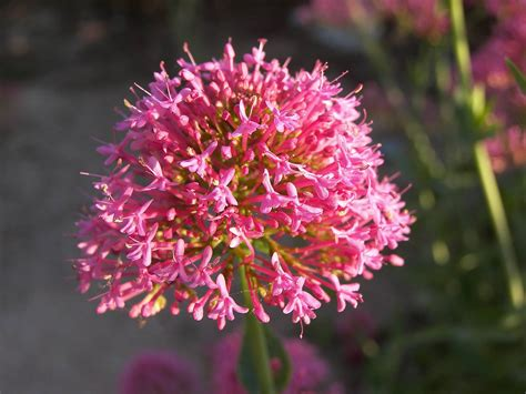 valerian flower wallpaper wallpapers