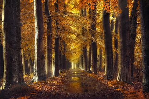 Gold Autumn Wallpapers by Fall Gold Path Trees Forest Leaves Water