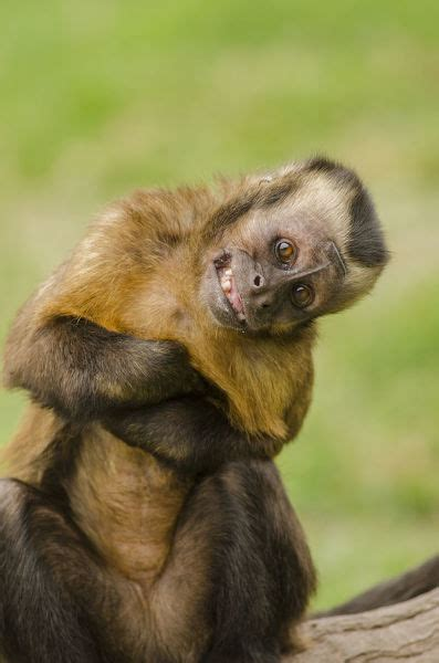 brown capuchin monkey sapajus macrocephalus print
