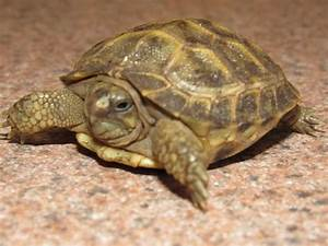 baby russian tortoise for sale online Russian tortoises ...