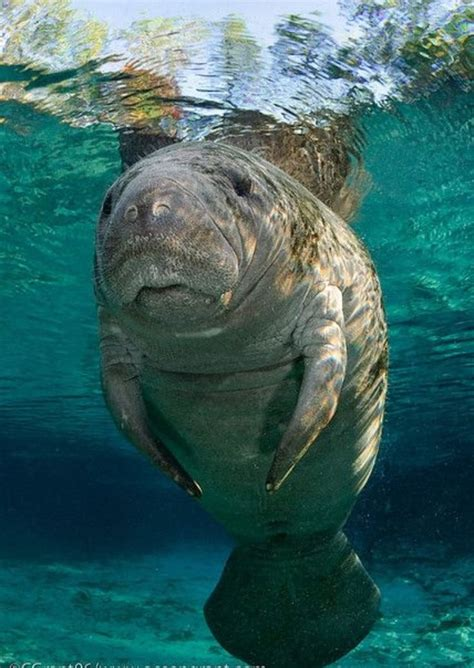 10 Best Seekuh Images On Pinterest Manatees Wild