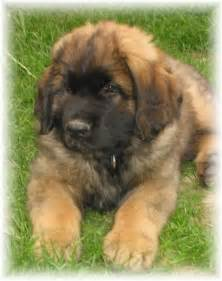 589 best images about The Leonberger Dog on Pinterest ...