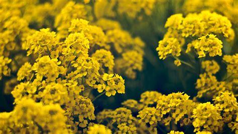 yellow flower hd wallpaper background image